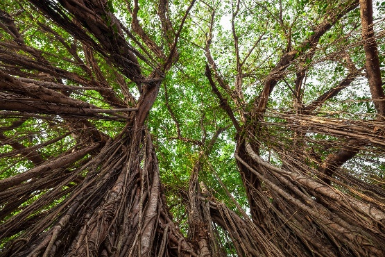 Looking upward through a canopy of Banyan tress
